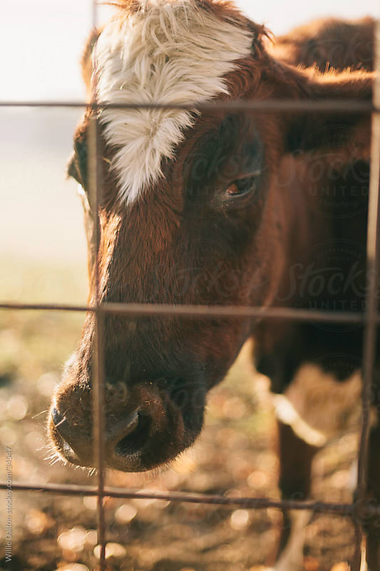 Cow Behind Fence by Willie Dalton for Stocksy United