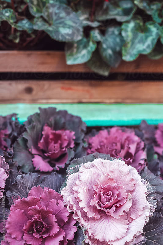 Purple cabbages by Vera Lair for Stocksy United