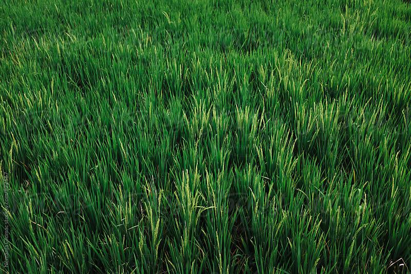 Green Rice Field in Bali, Indonesia by Nemanja Glumac for Stocksy United