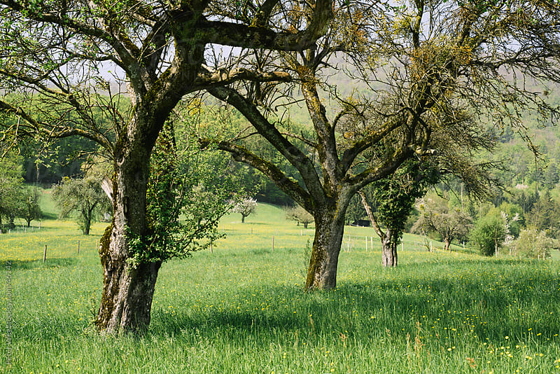 Rural scenery with trees on green meadow in spring by Peter Wey for Stocksy United