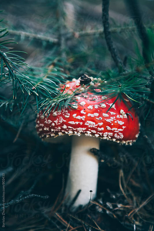 Poison red agaric mushroom Amanita Muscaria by Borislav Zhuykov for Stocksy United