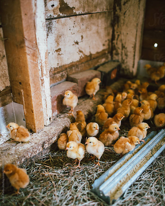Baby Chicks at a Farm by Anjali Pinto for Stocksy United