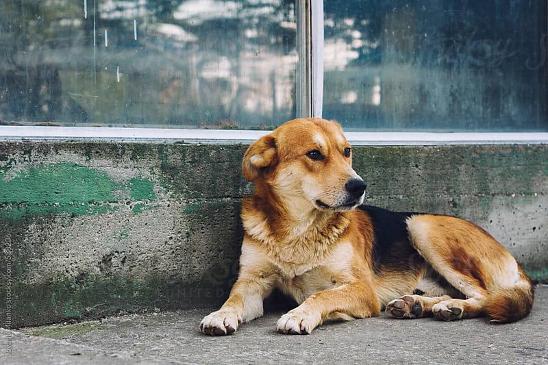 Stray dog lying at the street by Jovana Milanko for Stocksy United