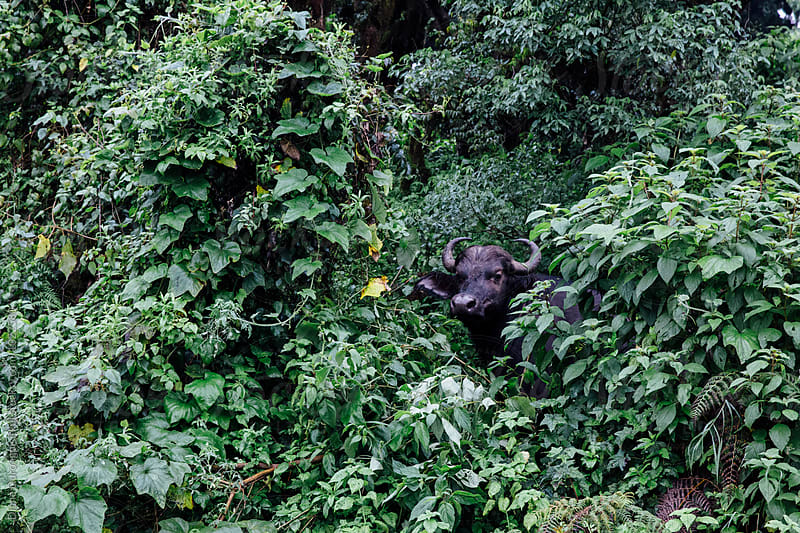 Buffalo in the Bushes by Diane Durongpisitkul for Stocksy United
