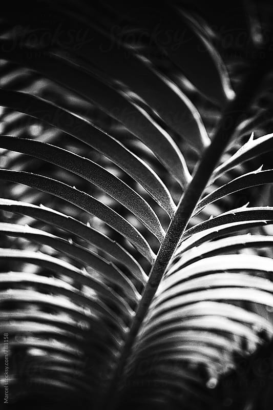 Palm leaf detail in contrasty b&w by Marcel for Stocksy United
