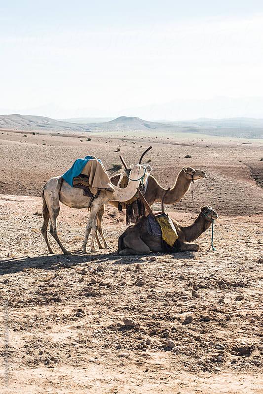 Three Camels by craig ferguson for Stocksy United
