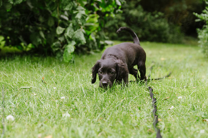 Small adorable puppy sniffing and exploring her garden by Rebecca Spencer for Stocksy United