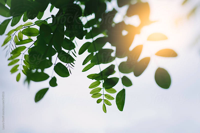 Warm sunlight shining behind green leaves hanging from branch  by Laura Stolfi for Stocksy United