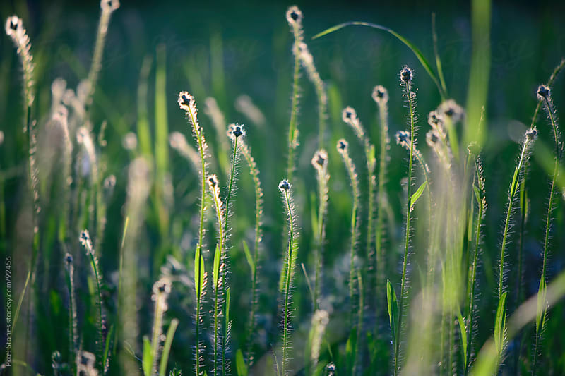 Summer grass during sunrise by Pixel Stories for Stocksy United