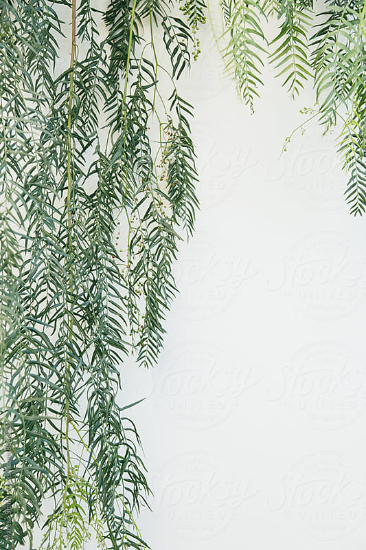 Leaves cascading down a white wall by Maresa Smith for Stocksy United