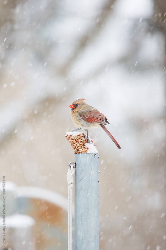 Female cardinal bird sitting on a bird feeder while it snows around her. by anya brewley schultheiss for Stocksy United