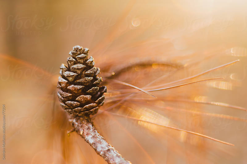 pinecone on a branch in golden light by Deirdre Malfatto for Stocksy United