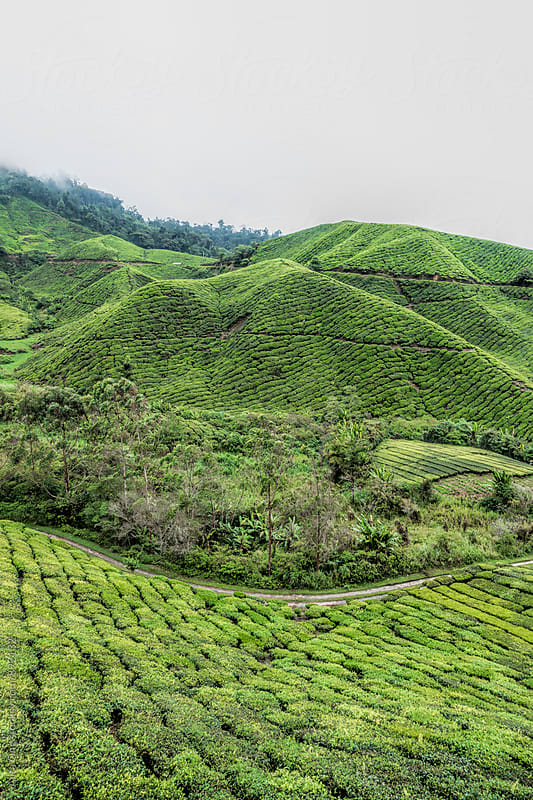 Tea plantation in Cameron Highlands, Malaysia by Alita Ong for Stocksy United