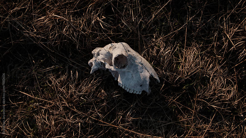 Sheep Skull on Grass by Branislav Jovanović for Stocksy United