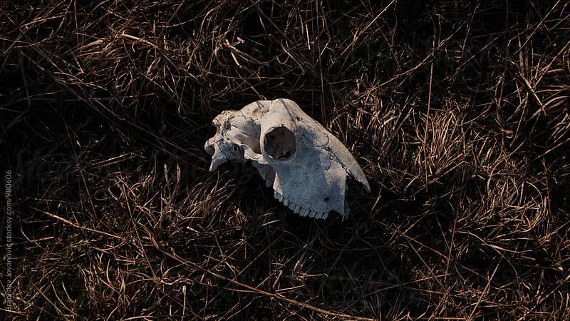 Sheep Skull on Grass by Branislav Jovanovic for Stocksy United
