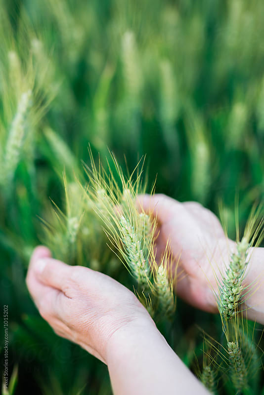 Woman holding green wheat by Pixel Stories for Stocksy United