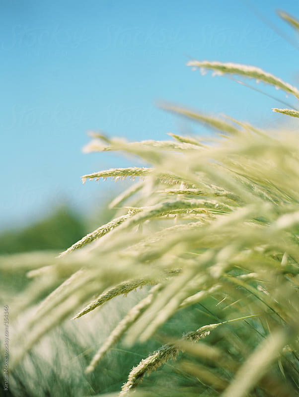 Beach grasses by Kirstin Mckee for Stocksy United