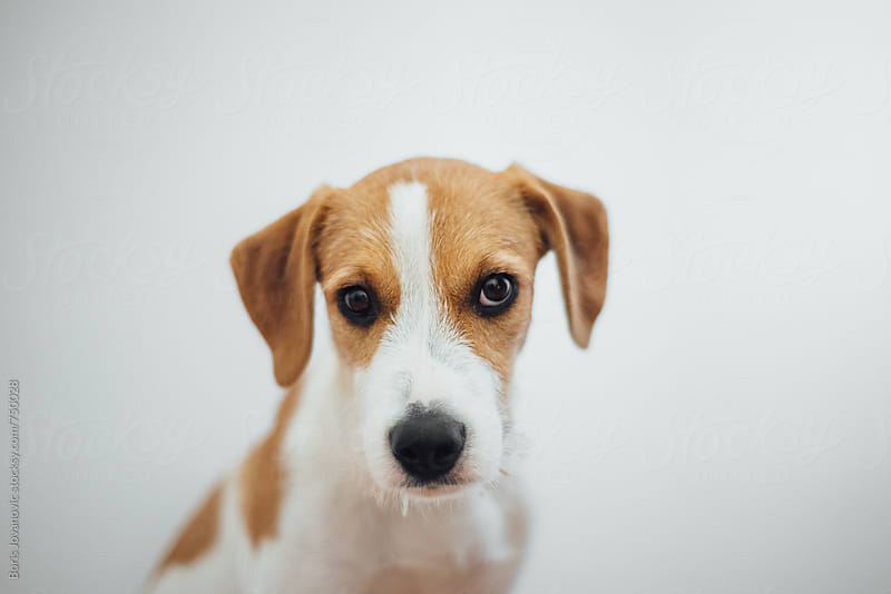 Portrait of young dog against the white wall by Boris Jovanovic for Stocksy United