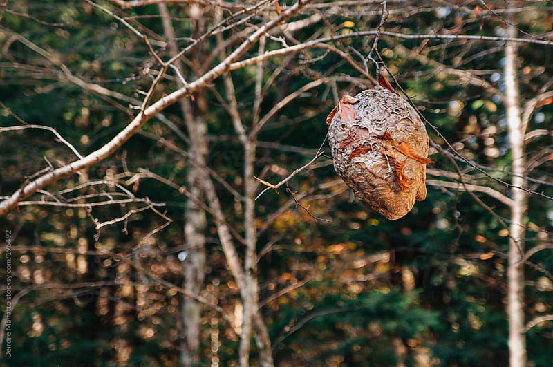 hornet's nest, hanging from a branch by Deirdre Malfatto for Stocksy United