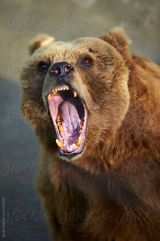 angry brown bear by Bo Bo for Stocksy United
