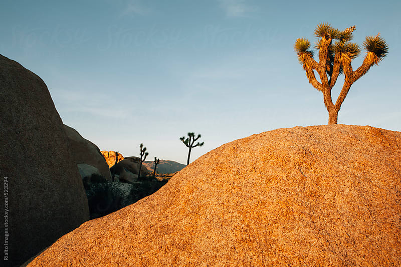 Joshua trees and granite rock formations at dusk in the Mojave desert, Joshua Tree NP, CA, USA by Paul Edmondson for Stocksy United