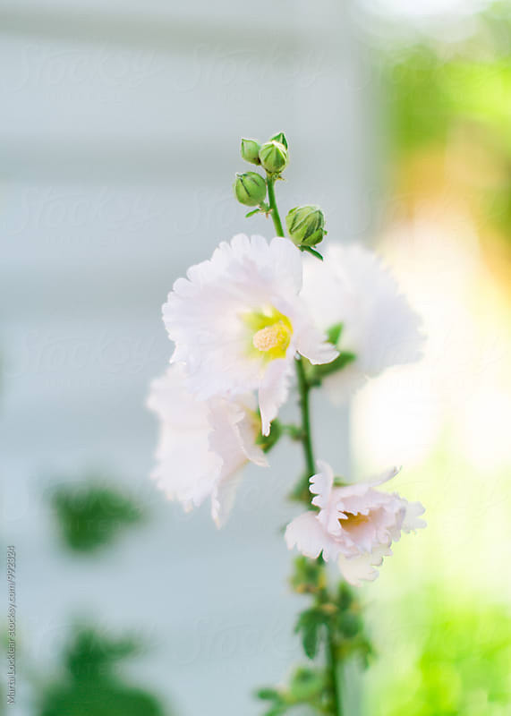 White Hollyhock by Marta Locklear for Stocksy United