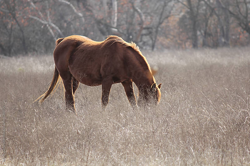 Horse grazing in a field of grasses by Monica Murphy for Stocksy United