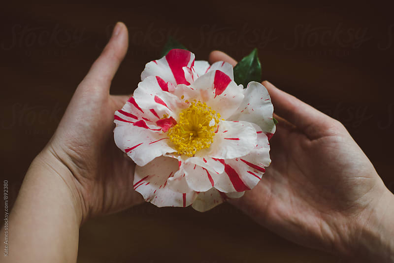 female hands holding beautiful multi colored Camellia flower by Kate Daigneault for Stocksy United