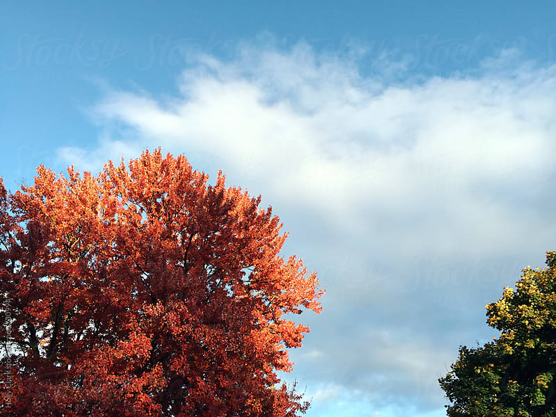 Autumn trees against the sky by Holly Clark for Stocksy United