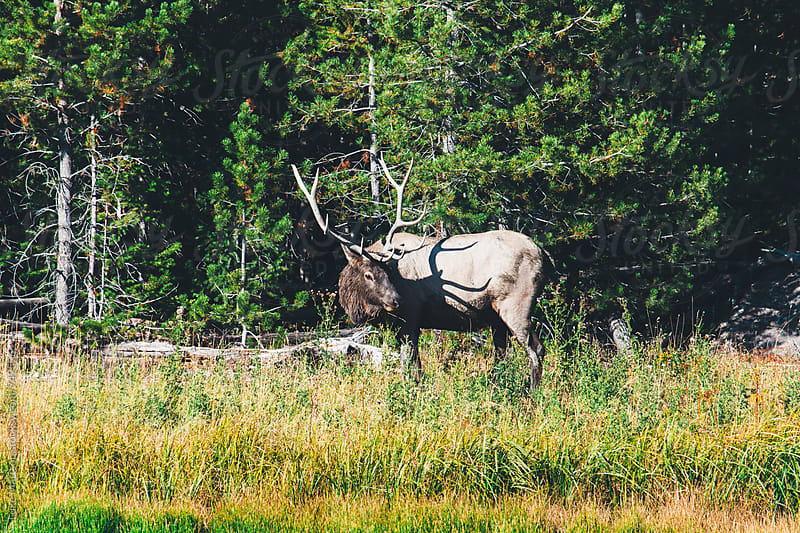 Bull Elk Standing In Grass Along Edge Of Forest by Luke Mattson for Stocksy United