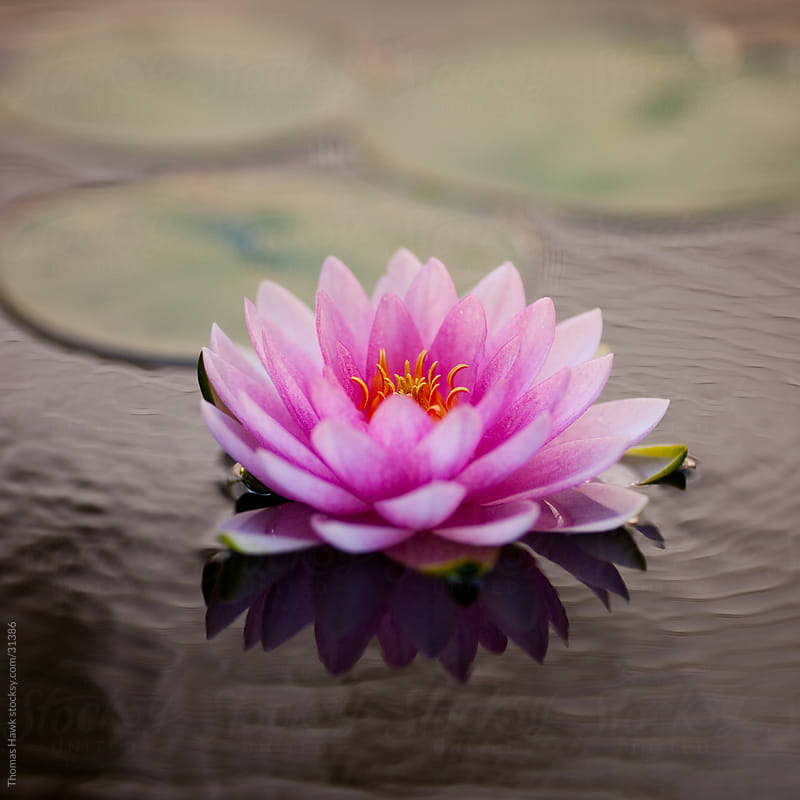 Soft Water Lilly by Thomas Hawk for Stocksy United