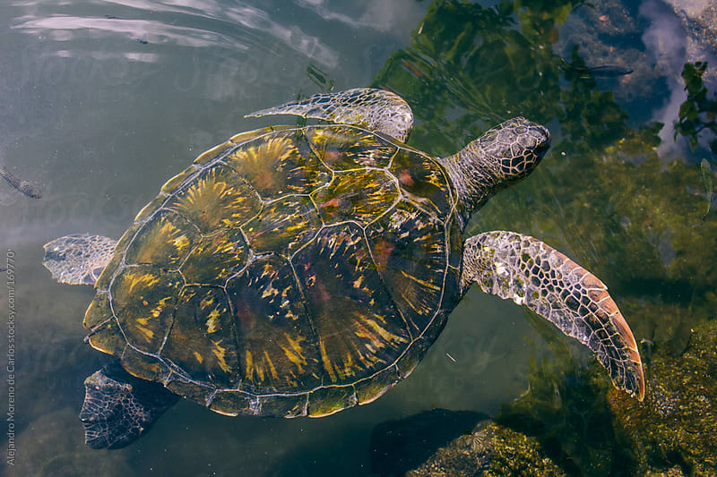 Sea turtle swimming in water, Samoa by Alejandro Moreno de Carlos for Stocksy United