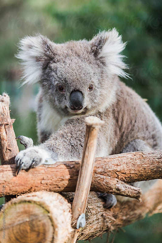 Koala in a Park, Australia. by Mauro Grigollo for Stocksy United