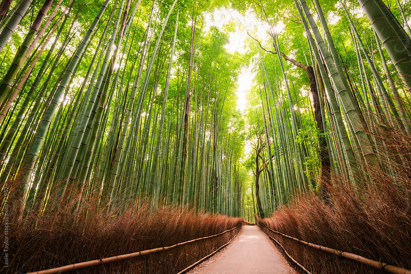 Bamboo Forest of Kyoto by Leslie Taylor for Stocksy United
