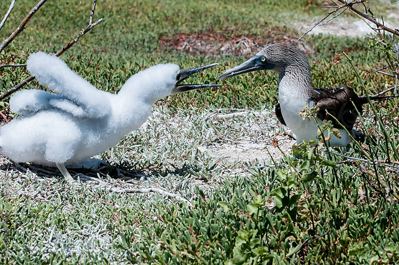 Juvenile and adult Booby quarrel by Caine Delacy for Stocksy United