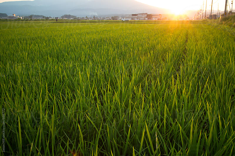 Sunset of a Rice Paddy by Jason Hill for Stocksy United