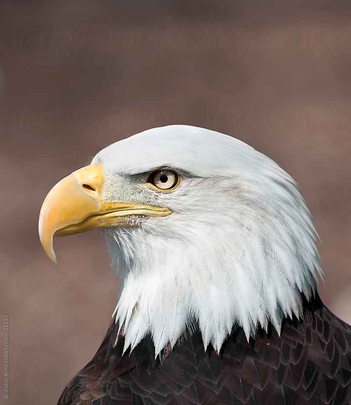 Bald Eagle Portrait by Brandon Alms for Stocksy United