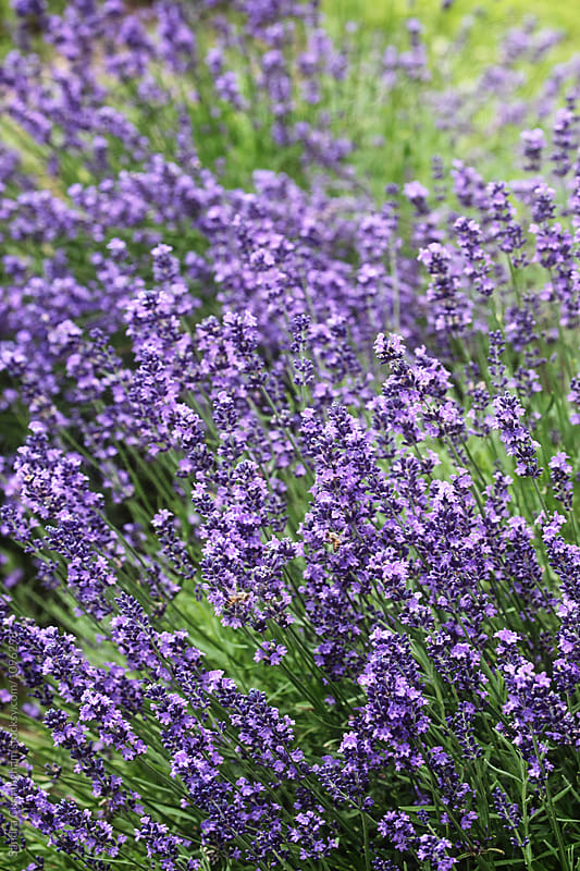 Lavender flowers with bees by Sandra Cunningham for Stocksy United