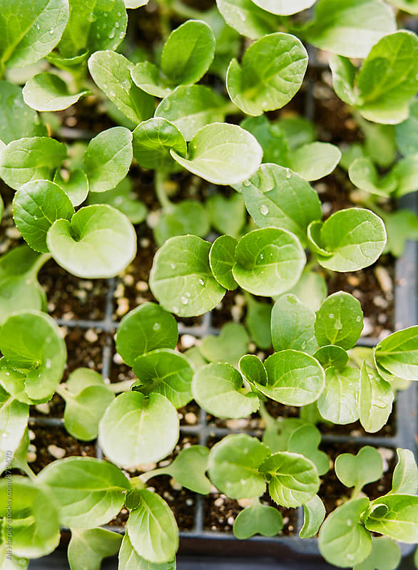 Seeds sprouting in tray by Ali Harper for Stocksy United