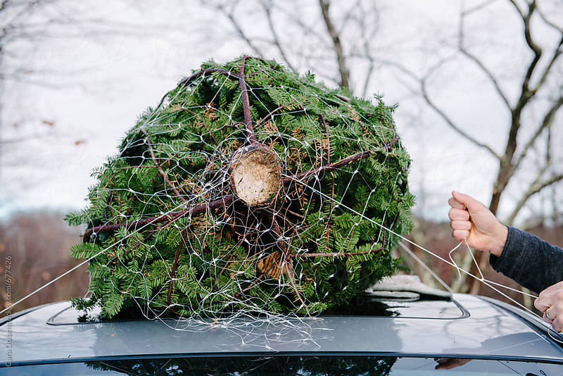 Tying the Christmas Tree to the roof of the car by Cara Slifka for Stocksy United