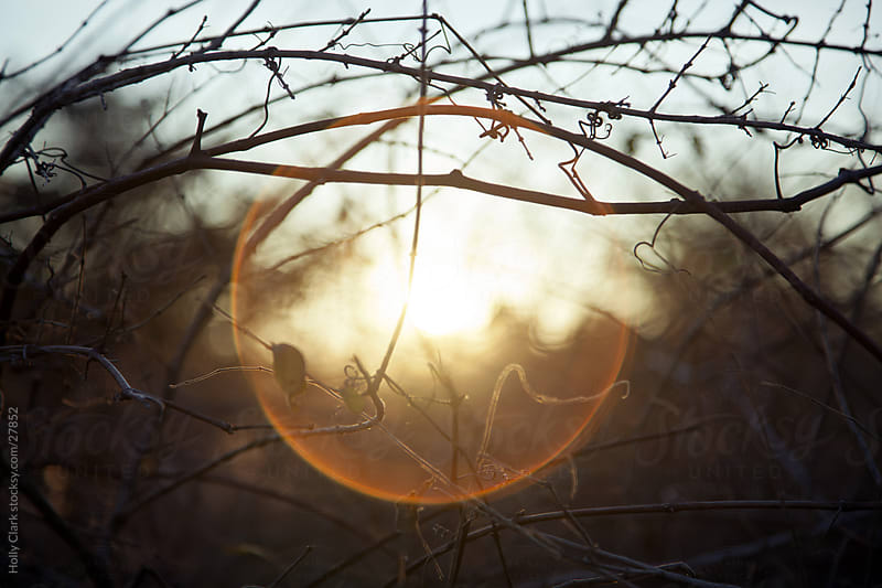 Closeup of Setting Sun through Vines by Holly Clark for Stocksy United