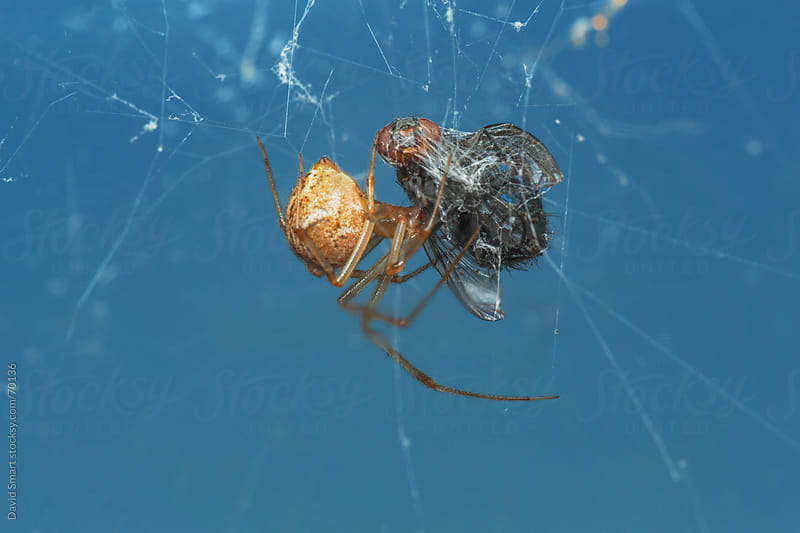 Spider feeding on a house fly that's trapped in the spider's web by David Smart for Stocksy United