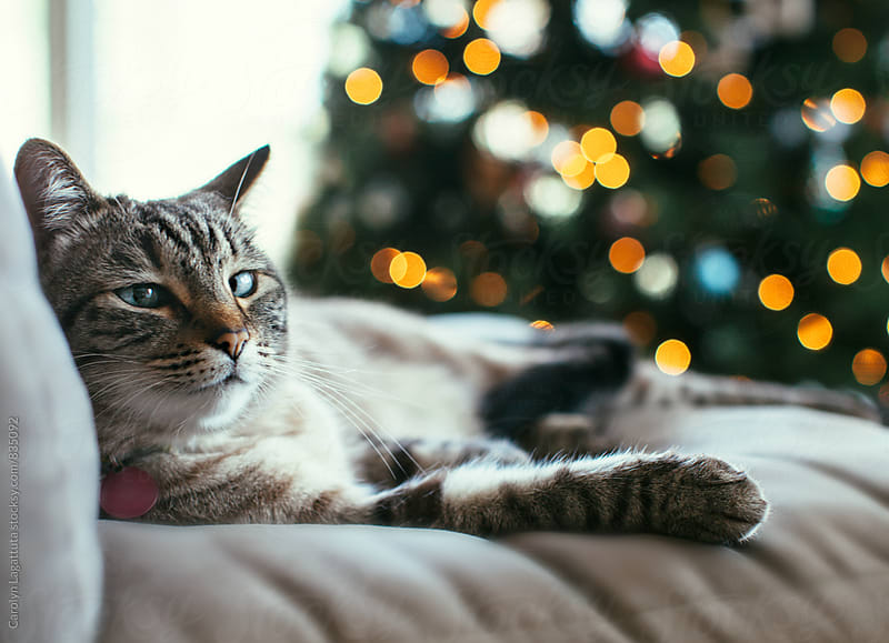 Cross eyed Siamese cat sitting in front of the Christmas tree by Carolyn Lagattuta for Stocksy United