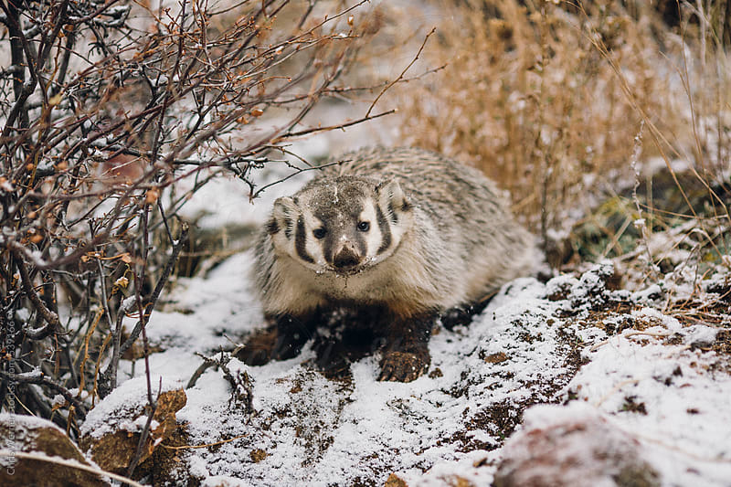 Badger by Chris Werner for Stocksy United