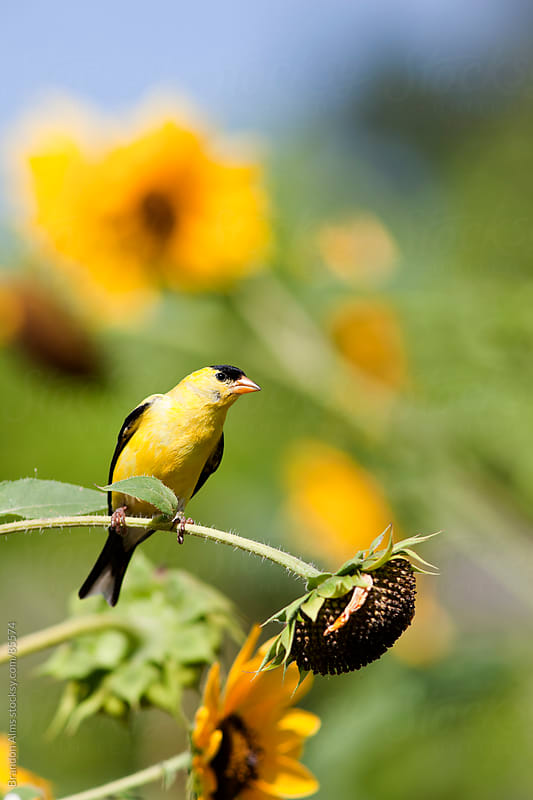Wild Canary Bird Closeup in a Field of Sunflowers by Brandon Alms for Stocksy United