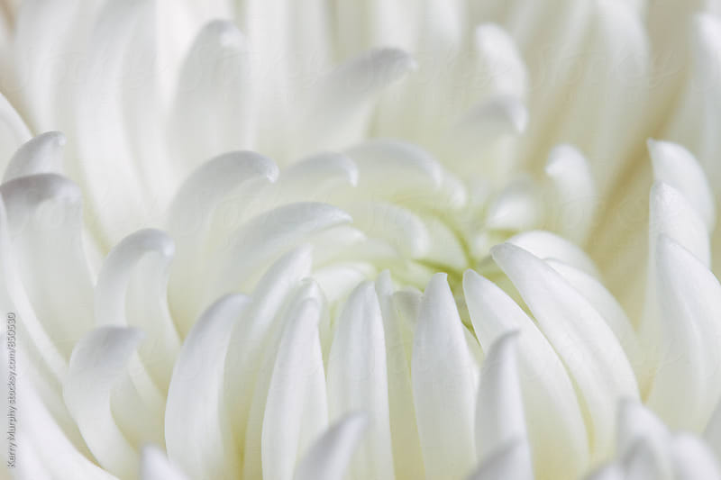 Macro of white mum flower by Kerry Murphy for Stocksy United