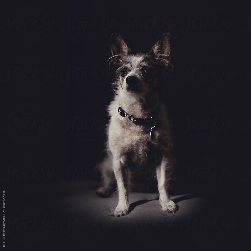 Portrait of a terrier dog by Rachel Bellinsky for Stocksy United
