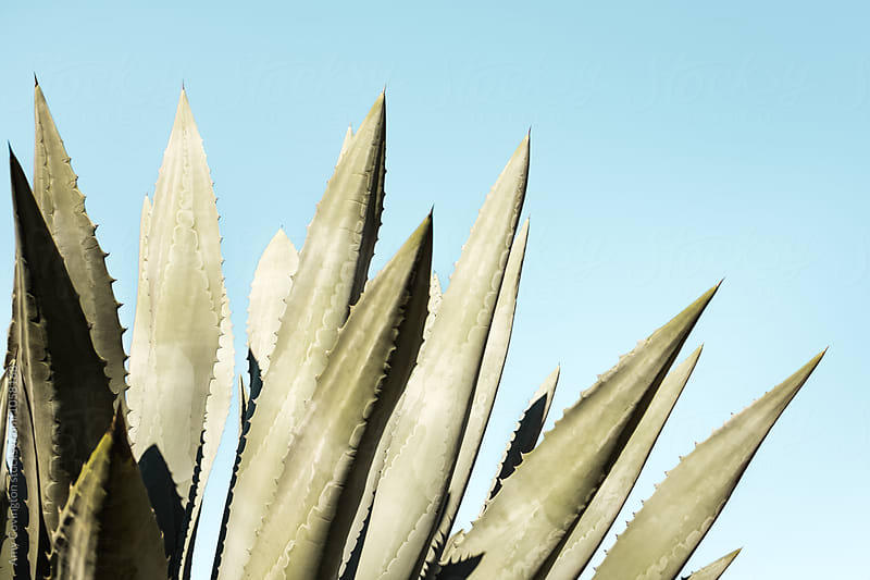Pale green agave plant on a blue sky background by Amy Covington for Stocksy United