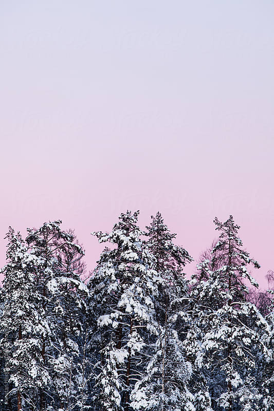 Snowy pine trees in the sunset by Jonatan Hedberg for Stocksy United