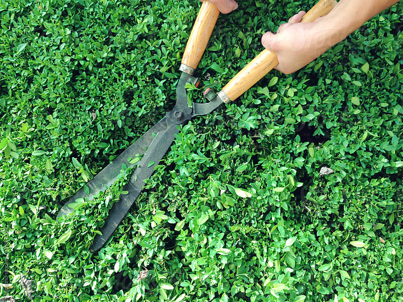 Man cutting hedge with hedge scissors. by Mosuno for Stocksy United